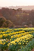 R.A.SCAMP  QUALITY DAFFODILS  CORNWALL: DAFFODILS GROWING IN THE TRIAL FIELD