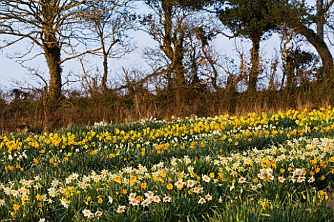 RASCAMP__QUALITY_DAFFODILS__CORNWALL_DAFFODILS_GROWING_IN_THE_TRIAL_FIELD