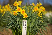 R.A.SCAMP  QUALITY DAFFODILS  CORNWALL: NARCISSUS LADY BE GOOD GROWING IN THE TRIAL FIELD