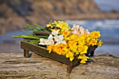 R.A.SCAMP  QUALITY DAFFODILS  CORNWALL: DAFFODILS IN A WOODEN BOX  BY THE SEASIDE NEAR FALMOUTH