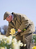 R.A.SCAMP  QUALITY DAFFODILS  CORNWALL: RON SCAMP IN THE BULB FIELD PICKING NARCISSI