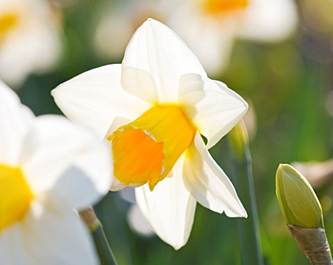 RASCAMP__QUALITY_DAFFODILS__CORNWALL_DAFFODIL__NARCISSUS_ORANGE_SUPREME