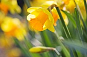 R.A.SCAMP  QUALITY DAFFODILS  CORNWALL: DAFFODIL - NARCISSUS UNCLE DUNCAN