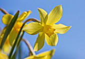 R.A.SCAMP  QUALITY DAFFODILS  CORNWALL: DAFFODIL - NARCISSUS YELLOW WILLIAMS