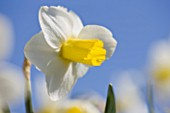 R.A.SCAMP  QUALITY DAFFODILS  CORNWALL: DAFFODIL - NARCISSUS CREED
