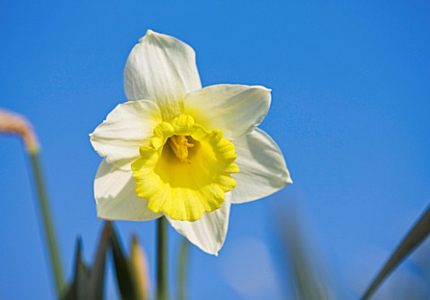 RASCAMP__QUALITY_DAFFODILS__CORNWALL_DAFFODIL__NARCISSUS_QUEEN_MUM