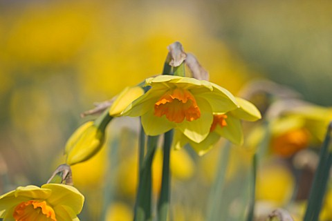 RASCAMP__QUALITY_DAFFODILS__CORNWALL_DAFFODIL__NARCISSUS_RINGMASTER