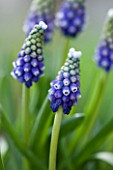 RICHARD HOBBS GARDEN  NORFOLK: MUSCARI TOUCH OF SNOW
