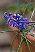 RICHARD HOBBS GARDEN  NORFOLK: MUSCARI COLLECTED BY CHRIS BRICKELL OF WISLEY