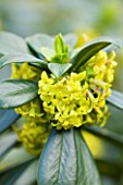 RICHARD HOBBS GARDEN  NORFOLK: DAPHNE LAUREOLA SUBSP PHILIPPI - DWARF SPURGE LAUREL