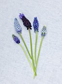 RICHARD HOBBS GARDEN  NORFOLK: MUSCARI VALERIE FINNIS  MOUNT HOOD  TOUCH OF SNOW  ATLANTIC AND LATIFOLIUM