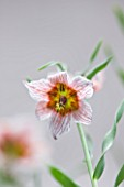 LAURENCE HILL COLLECTION OF FRITILLARIA: FRITILLARIA GIBBOSA BOISS