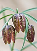LAURENCE HILL COLLECTION OF FRITILLARIA: FRITILLARIA ORIENTALIS