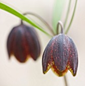 LAURENCE HILL COLLECTION OF FRITILLARIA: FRITILLARIA MONTANA