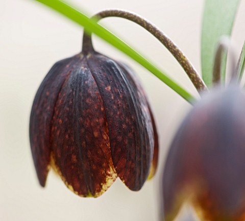 LAURENCE_HILL_COLLECTION_OF_FRITILLARIA_FRITILLARIA_MONTANA