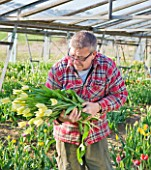 BLOMS BULBS  HERTFORDSHIRE: PICKING TULIP WHITE TRIUMPHATOR FOR THE CHELSEA FLOWER SHOW DISPLAY