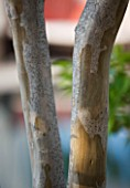 DESIGNER JAMES BASSON, SCAPE DESIGN, FRANCE: BARK OF LAGERSTROEMERIA INDICA TREE - PROVENCE, SUMMER, TEXTURE