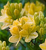 DODDINGTON PLACE GARDENS  KENT: AZALEA IN THE WOODLAND