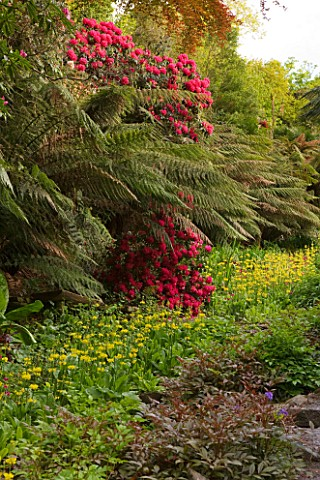TREBAH_GARDEN__CORNWALL_THE_WATER_GARDEN_FLOWING_DOWN_THE_VALLEY_WITH_CANDELABRA_PRIMULAS_IN_SPRING