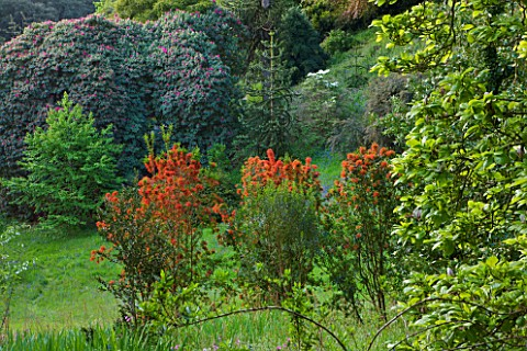 TREBAH_GARDEN__CORNWALL_CHILEAN_FIRE_BUSH__EMBOTHRIUM_COCCINEUM__FLOWERING_IN_THE_WOODLAND_IN_SPRING