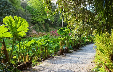 TREBAH_GARDEN__CORNWALL_THE_GUNNERA_PASSAGE_IN_SPRING
