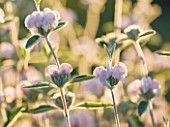 GARDEN OF OLIVIER FILIPPI  MEZE  FRANCE: CLOSE UP OF PHLOMIS PURPUREA SUBSP. ALMERIENSIS