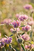 GARDEN OF OLIVIER FILIPPI  MEZE  FRANCE: CLOSE UP OF PHLOMIS PURPUREA SUBSP ALMERIENSIS