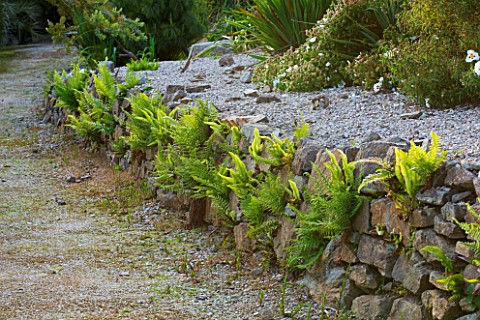 TREMENHEERE_SCULPTURE_GARDENS__CORNWALL_STONE_WALL_WITH_FERNS_IN_THE_HOT__DRY_GARDEN