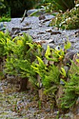 TREMENHEERE SCULPTURE GARDENS  CORNWALL: STONE WALL WITH FERNS IN THE HOT  DRY GARDEN