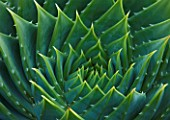 TREMENHEERE SCULPTURE GARDENS  CORNWALL: CLOSE UP ON PATTERN OF AGAVE POLYPHYLLA