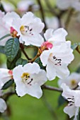 TREMENHEERE SCULPTURE GARDENS  CORNWALL: CLOSE UP OF FLOWERS OF RHODODENDRON CRASSUM