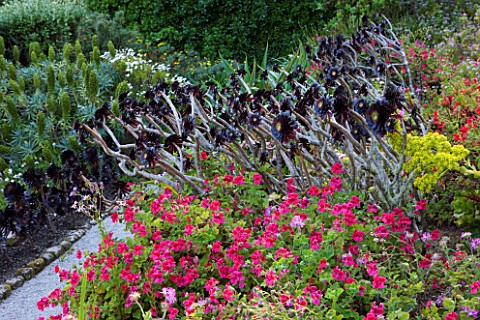 TRESCO_ABBEY_GARDEN__TRESCO___ISLES_OF_SCILLY_AEONIUMS_IN_THE_MEDITERRANEAN_GARDEN