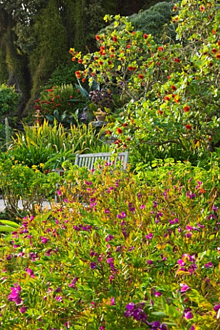 TRESCO_ABBEY_GARDEN__TRESCO___ISLES_OF_SCILLY_THE_MIDDLE_TERRACE_WITH_GREYII_SUNDERLANDII_BESIDE_BEN