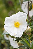 TRESCO ABBEY GARDEN  TRESCO   ISLES OF SCILLY: CLOSE UP OF THE WHITE FLOWER OF CISTUS LADANIFERUS VAR. ALBIFLORUS
