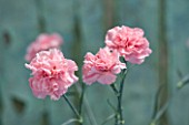 THE ISLES OF SCILLY: SCILLY FLOWERS - CARNATION - DIANTHUS DORIS
