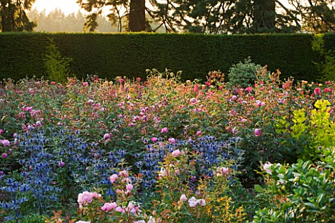 RAGLEY_HALL__WARWICKSHIRE_ERYNGIUM_BIG_BLUE_AND_THE_DAVID_AUSTIN_ROSE__ROSA_ALAN_TITCHMARSH__IN_THE_