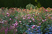 RAGLEY HALL  WARWICKSHIRE: ERYNGIUM BIG BLUE AND THE DAVID AUSTIN ROSE - ROSA ALAN TITCHMARSH - IN THE ROSE GARDEN