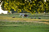 BROUGHTON CASTLE, OXFORDSHIRE:SHEEP AND COWS GRAZING IN THE PARKLAND - TREES, LANDSCPAE, COUNTRY GARDEN, CLASSIC, SUMMER, ANIMALS