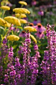 HELMSLEY WALLED GARDEN  YORKSHIRE: LYTHRUM DROPMORE PURPLE IN THE HERBACEOUS BORDER