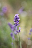 YORKSHIRE LAVENDER  YORKSHIRE: CLOSE UP OF LAVENDER - LAVANDULA ANGUSTIFOLIA MELISSA LILAC (DOW4)