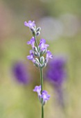 YORKSHIRE LAVENDER  YORKSHIRE: CLOSE UP OF ENGLISH LAVENDER - LAVANDULA ANGUSTIFOLIA  LITTLE LADY