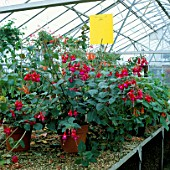 YELLOW STICKY TRAPS PLACED ABOVE INFECTED FUCHSIA PLANTS TO ATTRACT AND CATCH FLYING INSECTS. PEST CONTROL. GREENHOUSE.PROTECTION