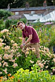 SLEDMERE HOUSE GARDEN, YORKSHIRE: HEAD GARDENER ANDY KARAVICS CUTTING ALSTROEMERIA IN THE WALLED GARDEN - MAN, SUMMER, AUGUST, WORK, WORKING, PEOPLE, PERSON, MEN, JOB, DEADHEADING