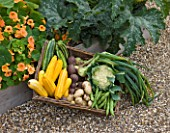 SLEDMERE HOUSE GARDEN, YORKSHIRE: BASKET OF VEGETABLES IN THE WALLED GARDEN - COURGETTES, CAULIFLOWER, POTATOES - STILL LIFE, ORGANIC, FOOD, SUMMER, BOUNTY,  AUGUST