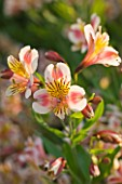 SLEDMERE HOUSE GARDEN, YORKSHIRE: HYBRID ALSTROEMERIA SIMILAR TO AVANTI - CLOSE UP, PLANT PORTRAIT, FLOWER, FLOWERS,  AUGUST, SUMMER, PINK, YELLOW, PERENNIAL