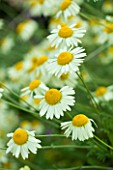 SLEDMERE HOUSE GARDEN, YORKSHIRE: ANTHEMIS TINCTORIA SAUCE HOLLANDAISE - CLOSE UP,  PLANT POTRAIT, YELLOW, WHITE, DAISY, DAISIES, SUMMER, AUGUST