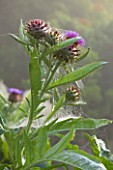 GLYNDEBOURNE, EAST SUSSEX: CLOSE UP OF FLOWER OF CARDOON - GLOBE ARTICHOKE THISTLE - CYNARA CARDUNCULUS, FLOWER, PLANT PORTRAIT