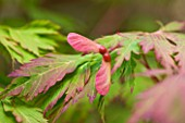 FULHAM GARDEN DESIGNED BY AMIR SCHLEZINGER - MY LANDSCAPES: CLOSE UP OF THE AUTUMN SEEDPOD OF ACER JAPONICUM ACONITIFOLIUM
