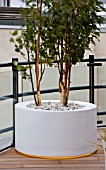 ZIGGURAT ROOF GARDEN BY AMIR SCHLEZINGER  MY LANDSCAPES: CONTAINER PLANTED WITH BETULA ALBOSINENSIS FASCINATION