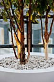 ZIGGURAT ROOF GARDEN BY AMIR SCHLEZINGER  MY LANDSCAPES: CONTAINER PLANTED WITH BETULA ALBOSINENSIS FASCINATION  LIT UP AT NIGHT
